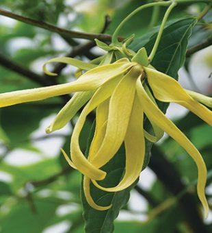 Ylang – Ylang, Bunga Pengantin Tradisi Yang Banyak Khasiatnya